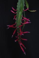 Disocactus eichlamii (Foto Horst Kündiger)
