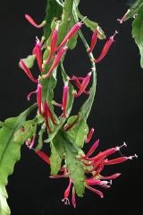 Disocactus eichlamii (Foto Jochen Bockemühl)