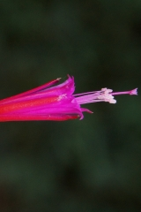 Disocactus eichlamii Volcan de Pacaya (Foto Rudolf Heßing-Herick)