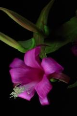 Disocactus nelsonii ssp. nelsonii (Foto Heiner Düsterhaus)
