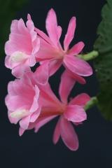 Disocactus phyllanthoides Klon Lautner (Foto Jochen Bockemühl