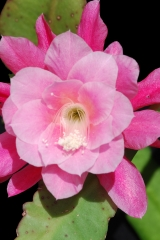 Disocactus phyllanthoides Lautner 02-56 l (Foto Andreas Hofacker)