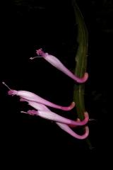 Disocactus quezaltecus (Foto Rudolf Heßing-Herick)