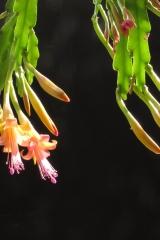 Disocactus salvadorensis (Foto Eckhard Meier)