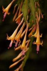 Disocactus savadorensis (Foto Rudolf Heßing-Herick)