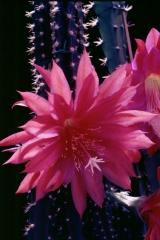 Disocactus speciosus ssp. speciosus (Foto Rainbow Gardens)