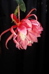 Disocactus xkimnachii (Foto Tobias Pfeil)