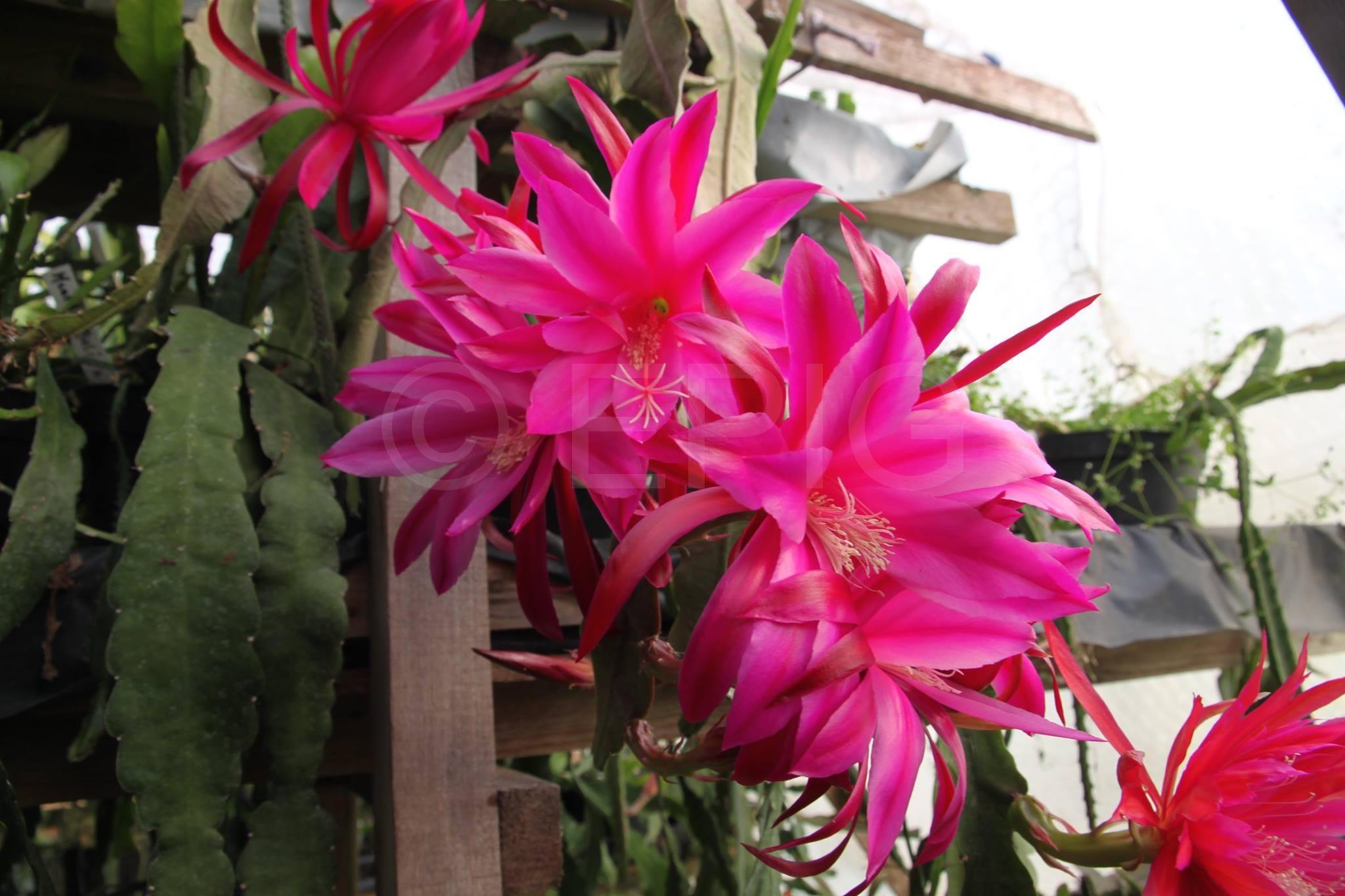 Epikaktus 'Blume Von Hawaii' (Foto Heinz Peter Mohrdieck)