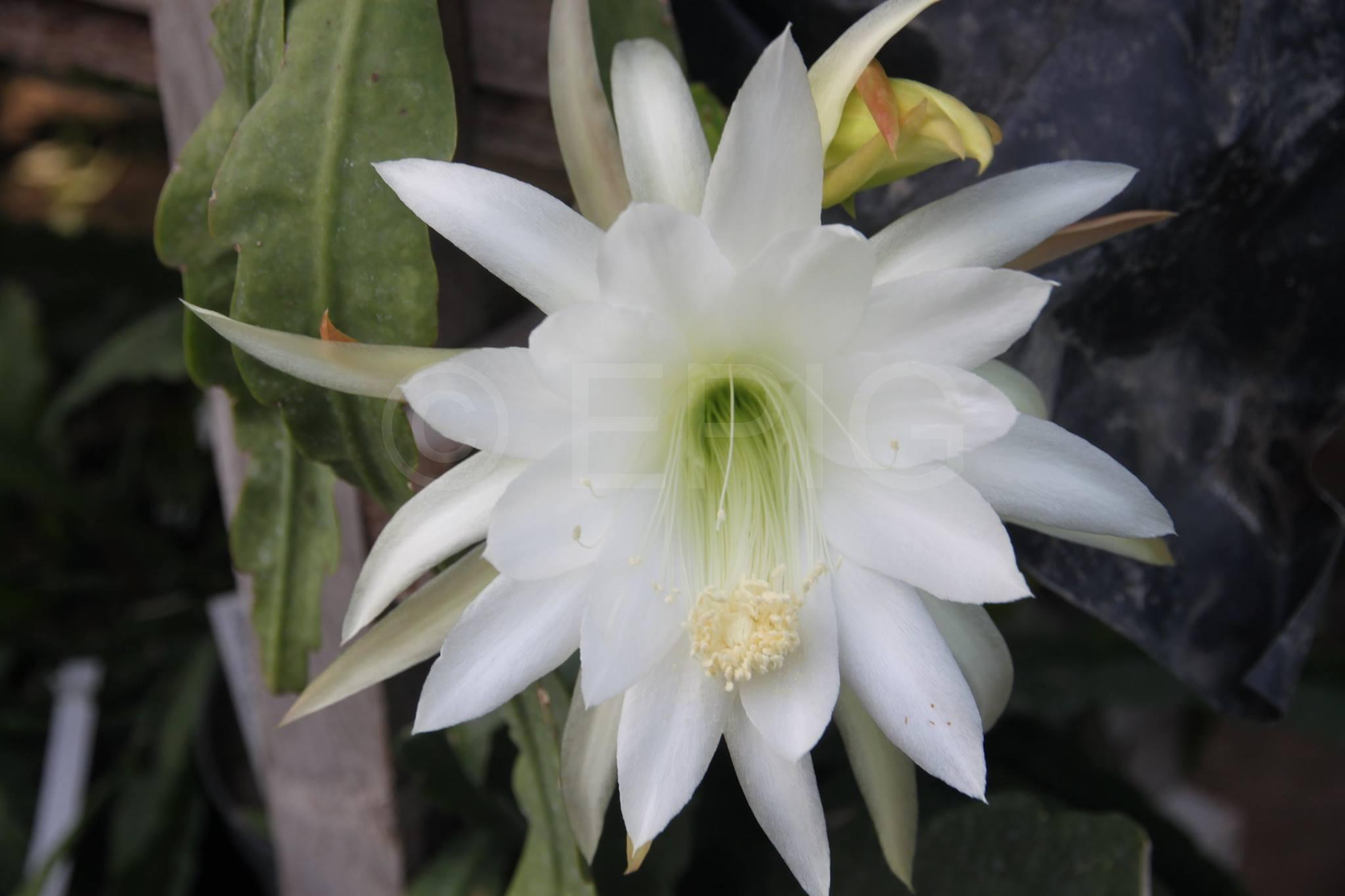Epikaktus 'Gardenia' (Foto Heinz Peter Mohrdieck)