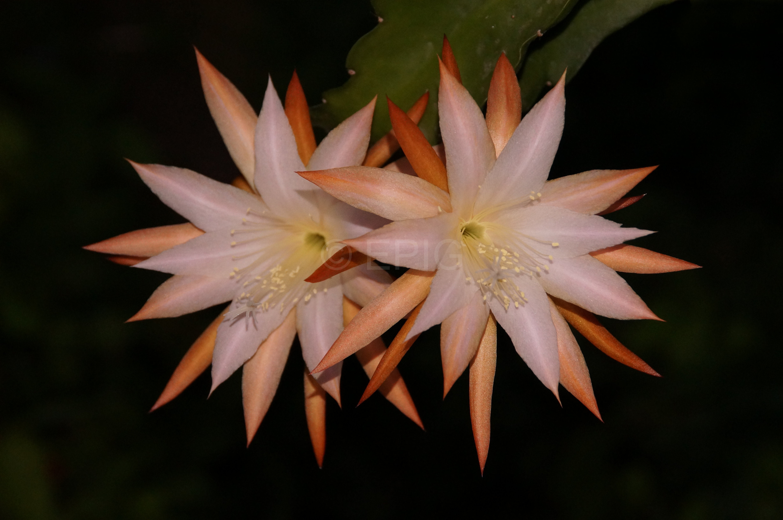 Epikaktus 'Jalisco Camilla' (Foto Rudolf Heßing-Herick)