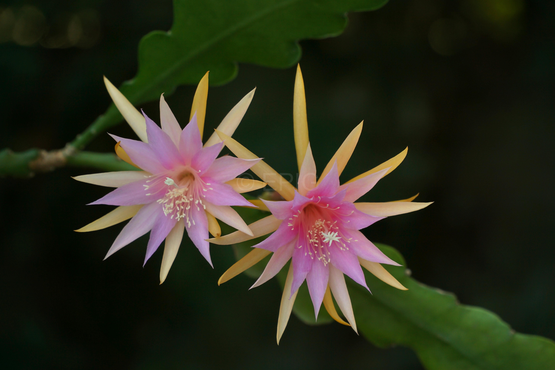 Epikaktus 'Jalisco Cheer' (Foto Rudolf Heßing-Herick)