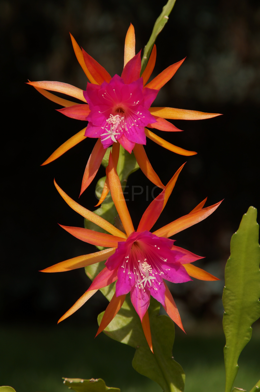 Epikaktus 'Jalisco Cowi' (Foto Rudolf Heßing-Herick)