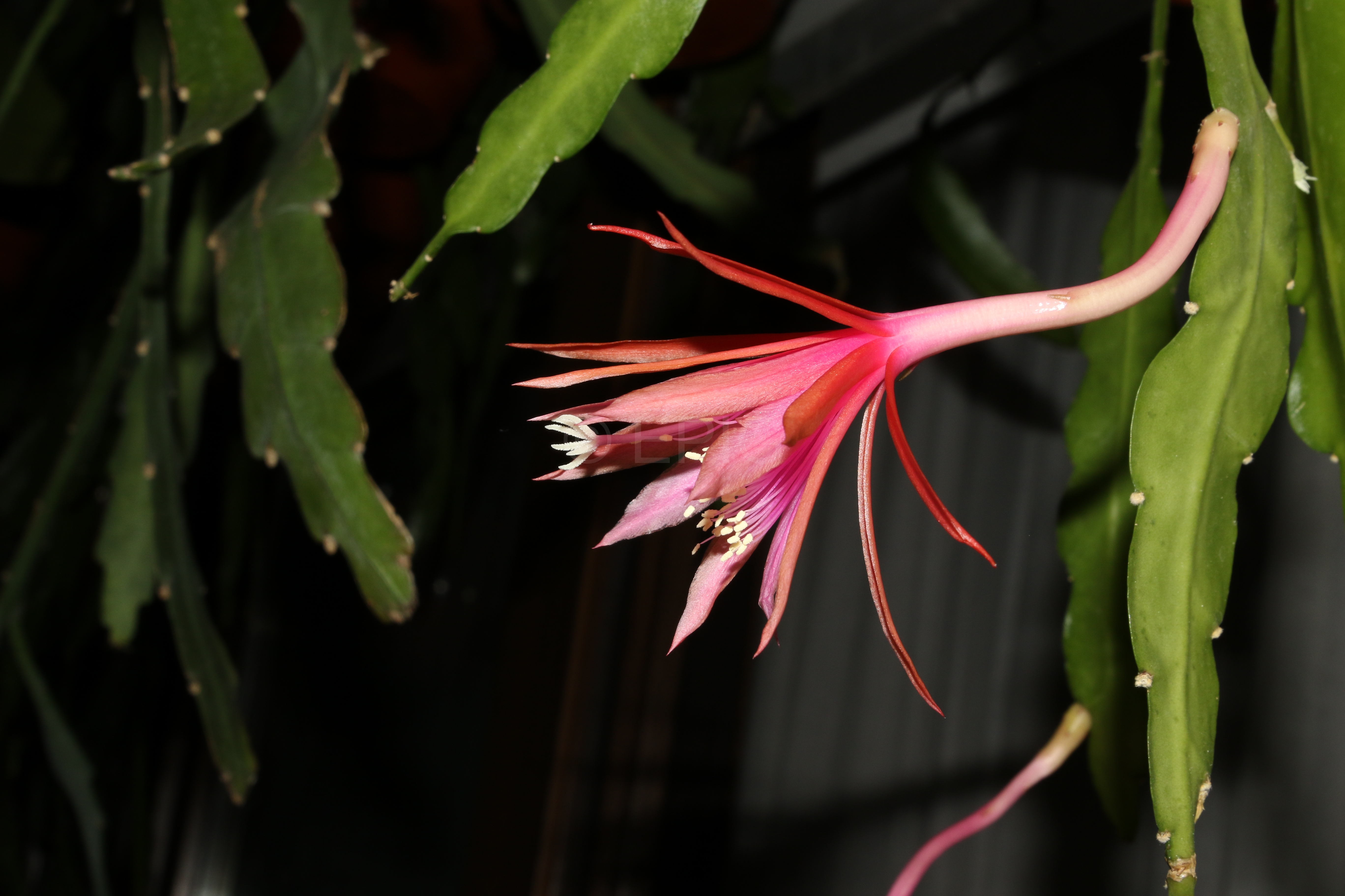 Epikaktus 'Jalisco Flirt' (Foto Walter Widmann)