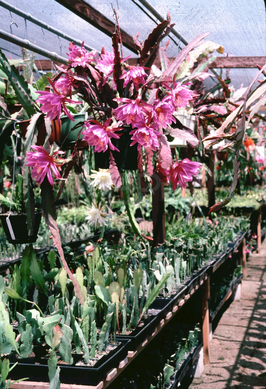 Epikaktus 'Jolly Rogers' (Foto Rainbow Gardens)