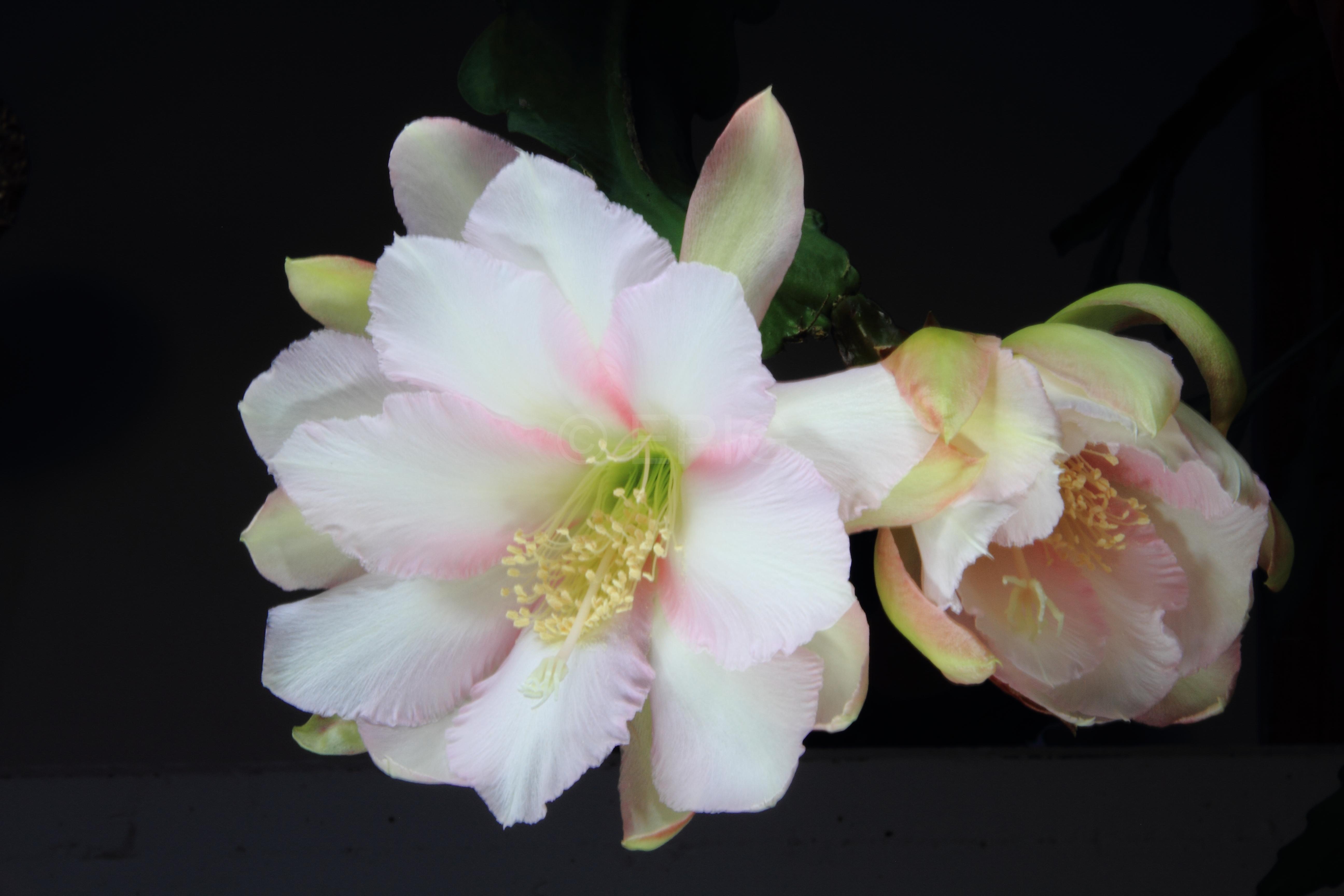 Epikaktus 'Lily Dache' (Foto Heiner Düsterhaus)