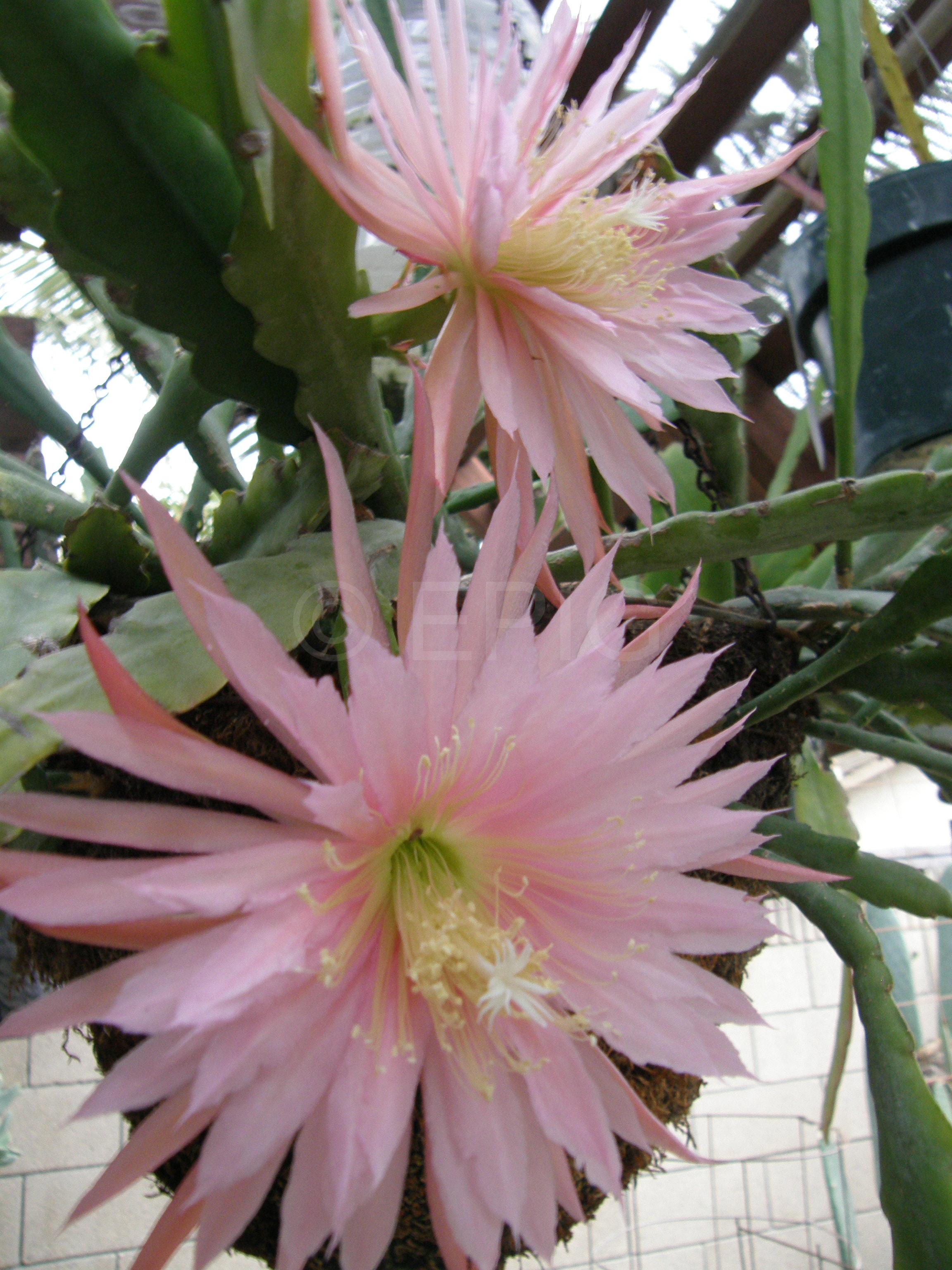 Epikaktus 'Pink Plumes' (Foto Don Burnett)