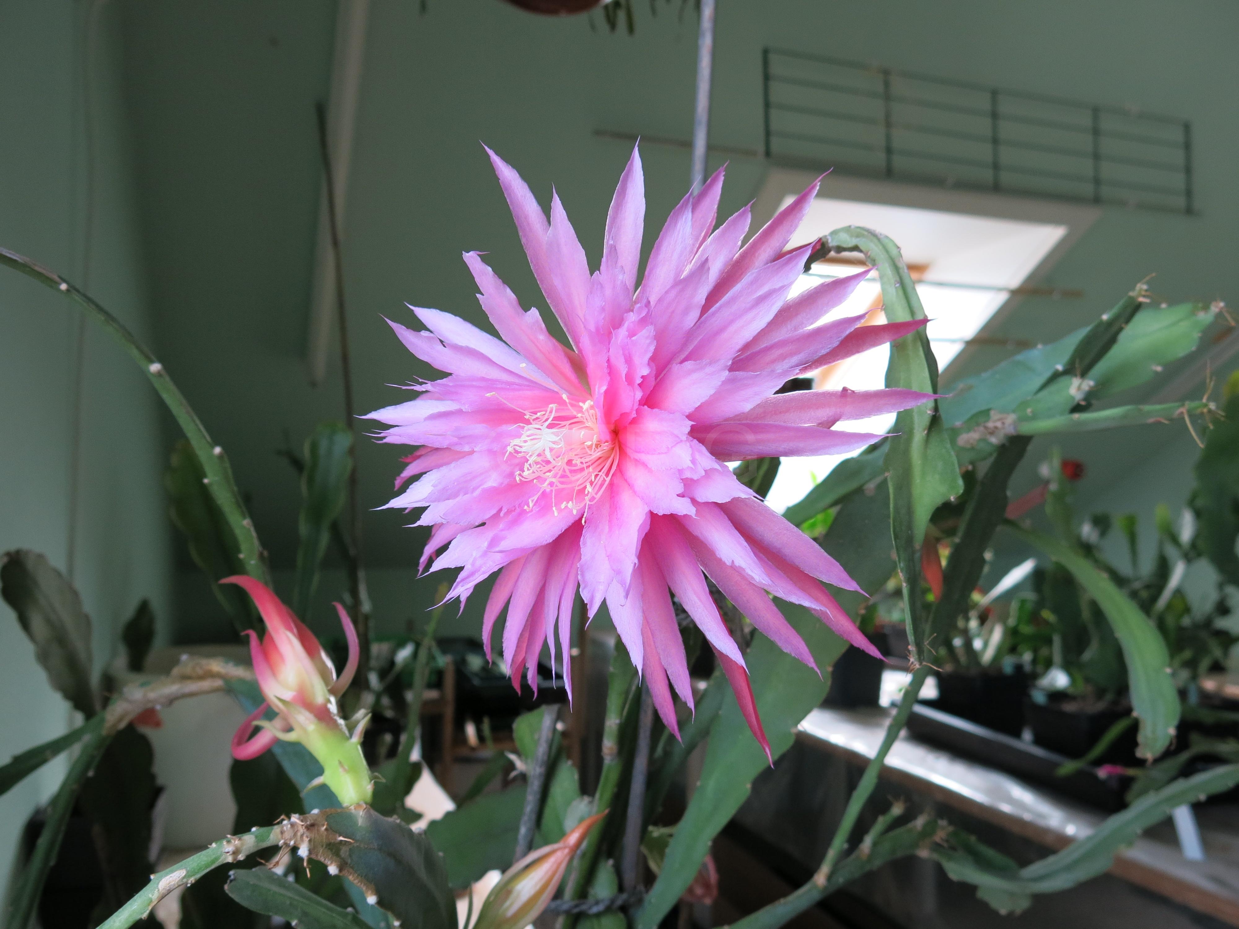 Epikaktus 'Pink Plumes' (Foto Walter Widmann)