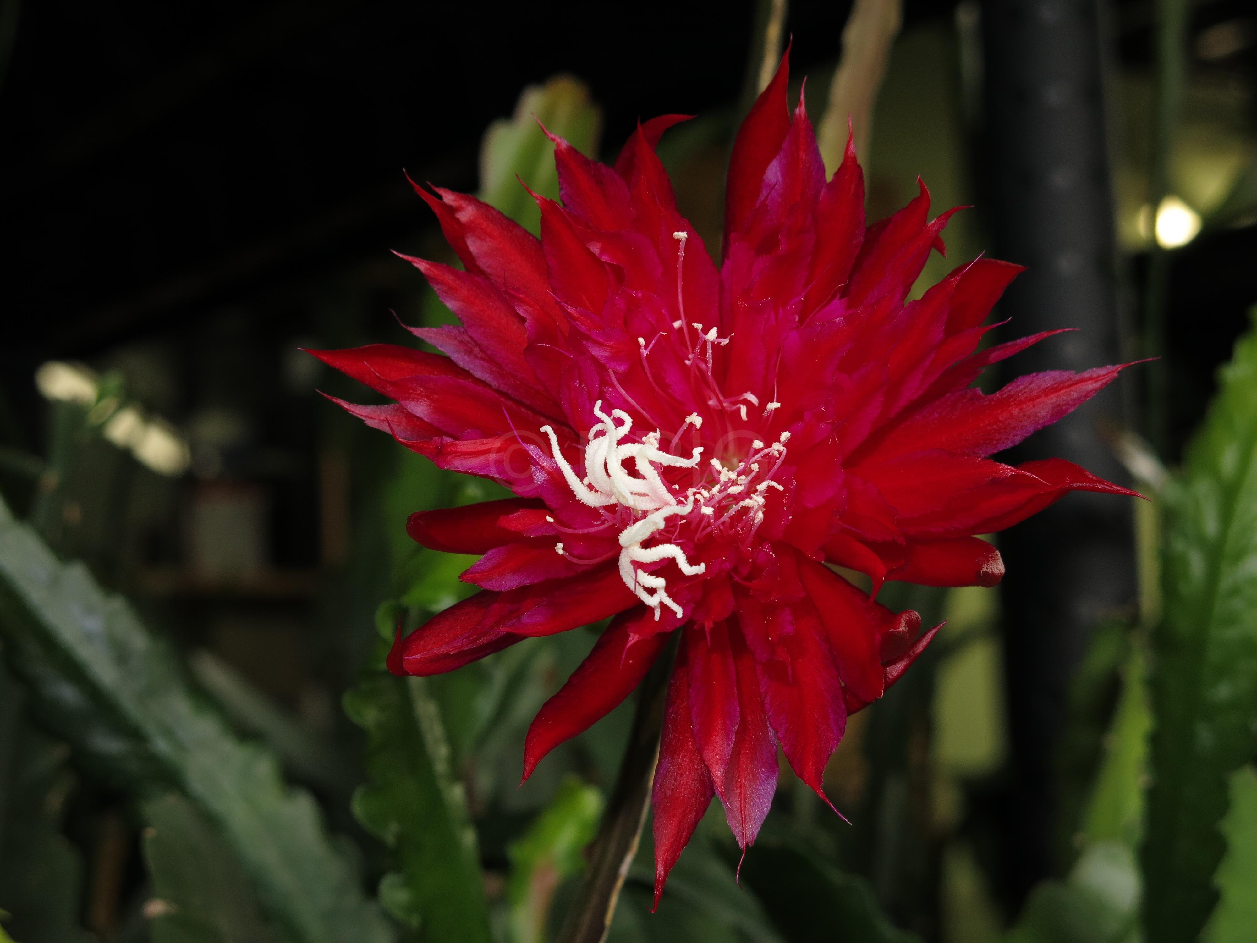 Epikaktus 'Ruby Pinwheel' (Foto Walter Widmann)