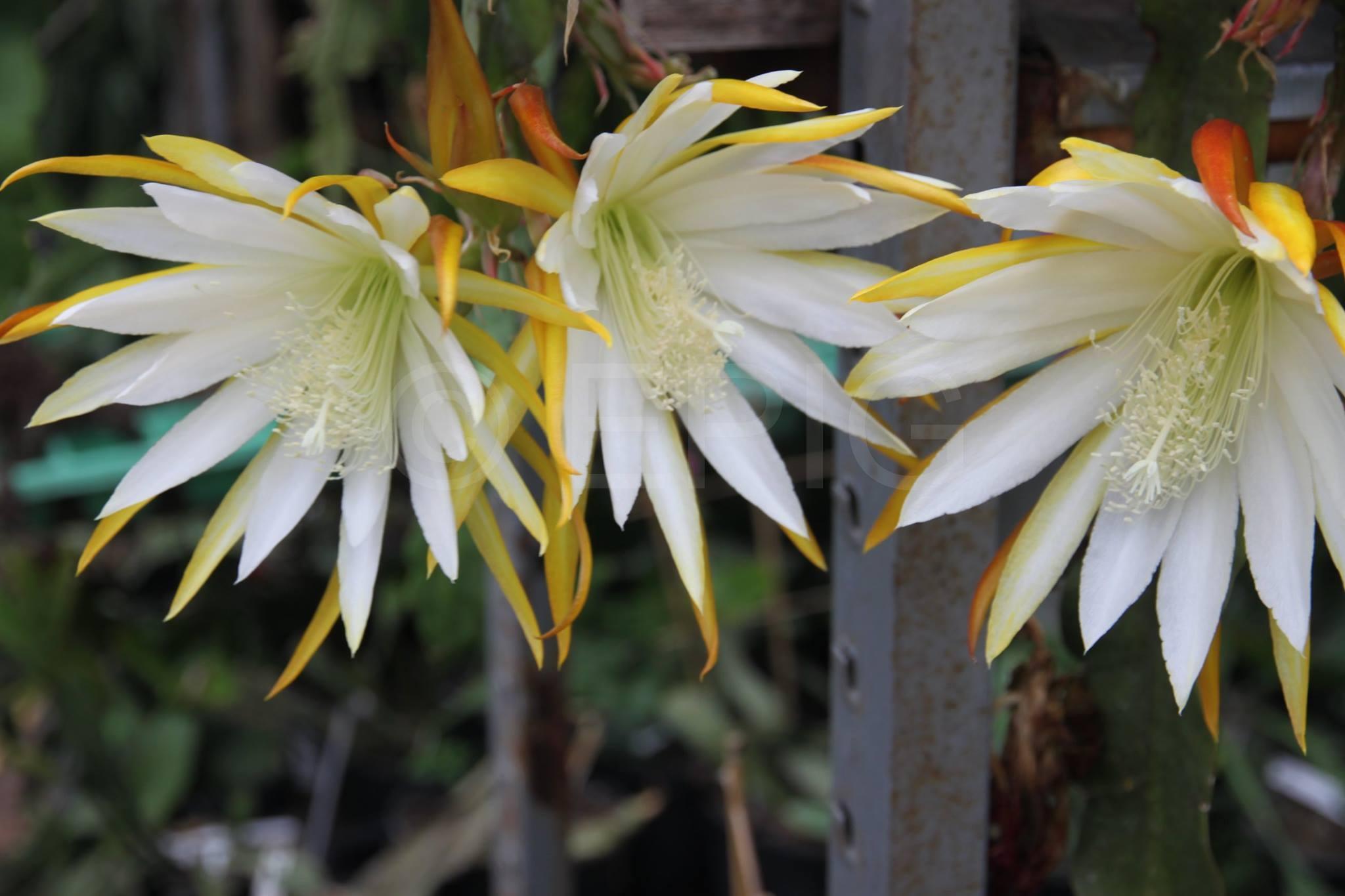Epikaktus 'White Splendor' (Foto Heinz Peter Mohrdieck)