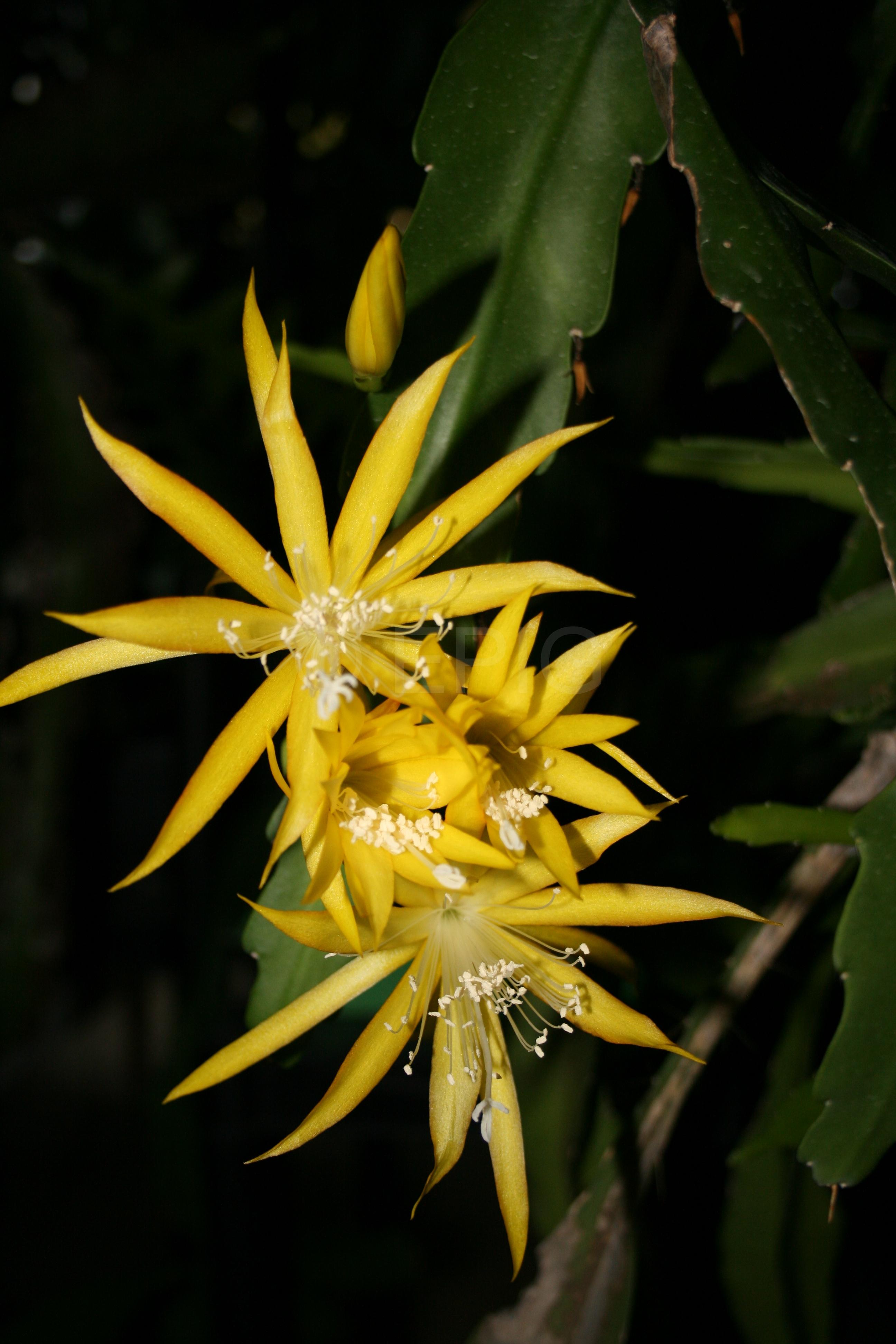 Epikaktus 'Yellow Paetz' (Foto Walter Widmann)