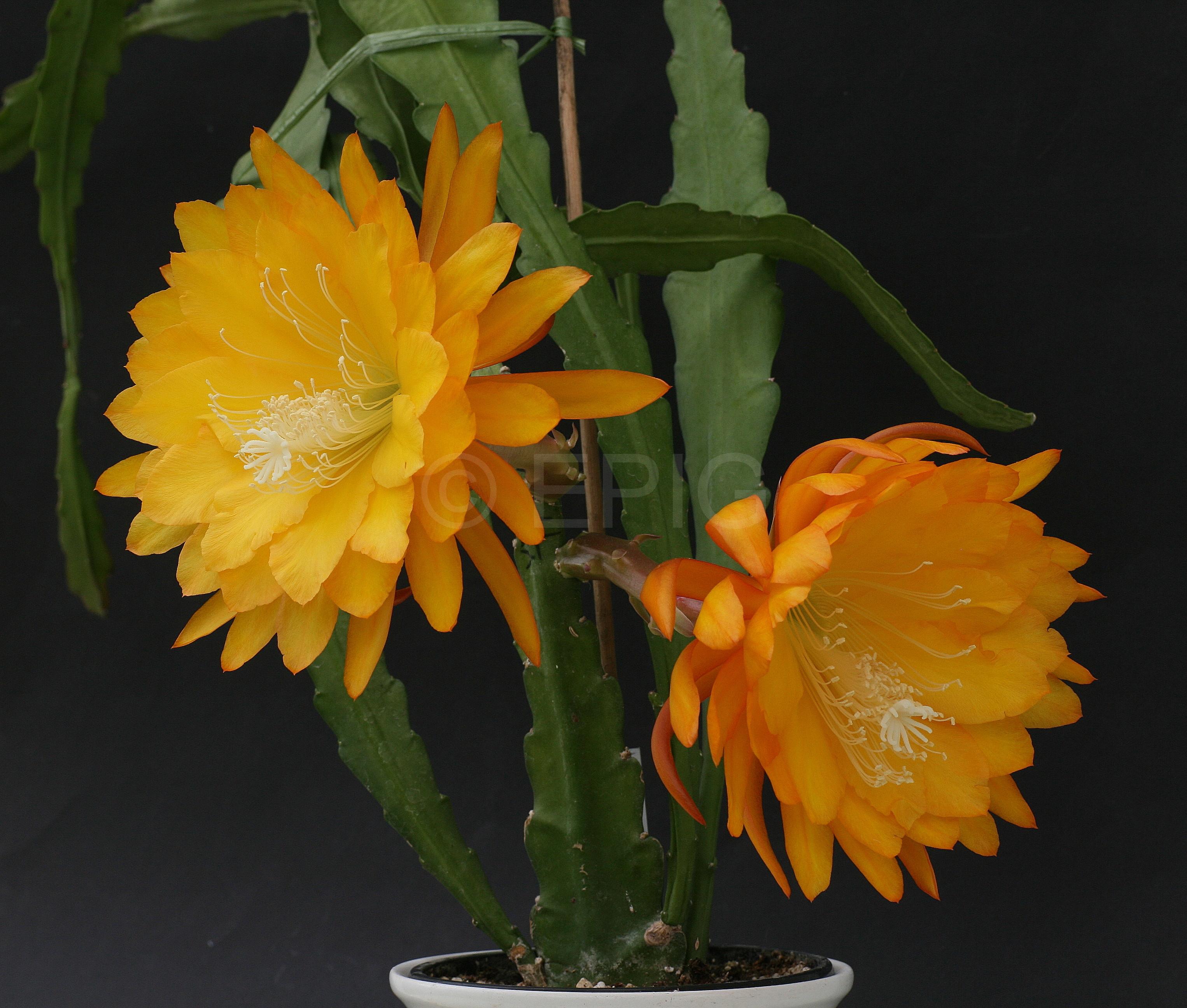 Epikaktus 'Yellow Tang' (Foto Jochen Bockemühl)
