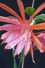Epikaktus 'Fiesta de Flores' (Foto Horst Kündiger)
