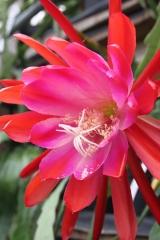 Epikaktus 'Floradora' (Foto Heinz Peter Mohrdieck)