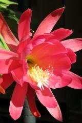 Epikaktus 'Heather Rose' (Foto Walter Widmann)