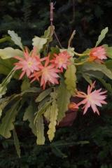Epikaktus 'Jalisco Beauty' (Foto Rudolf Heßing-Herick)