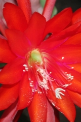 Epikaktus 'Jungle Beauty' (Foto Heinz Peter Mohrdieck)