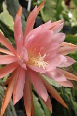 Epikaktus 'Lotus Queen' (Foto Heinz Peter Mohrdieck)