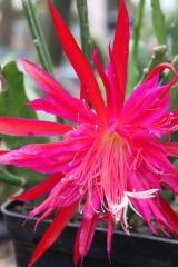 Epikaktus 'Ruby Snowflake' (Foto Heinz Peter Mohrdieck)