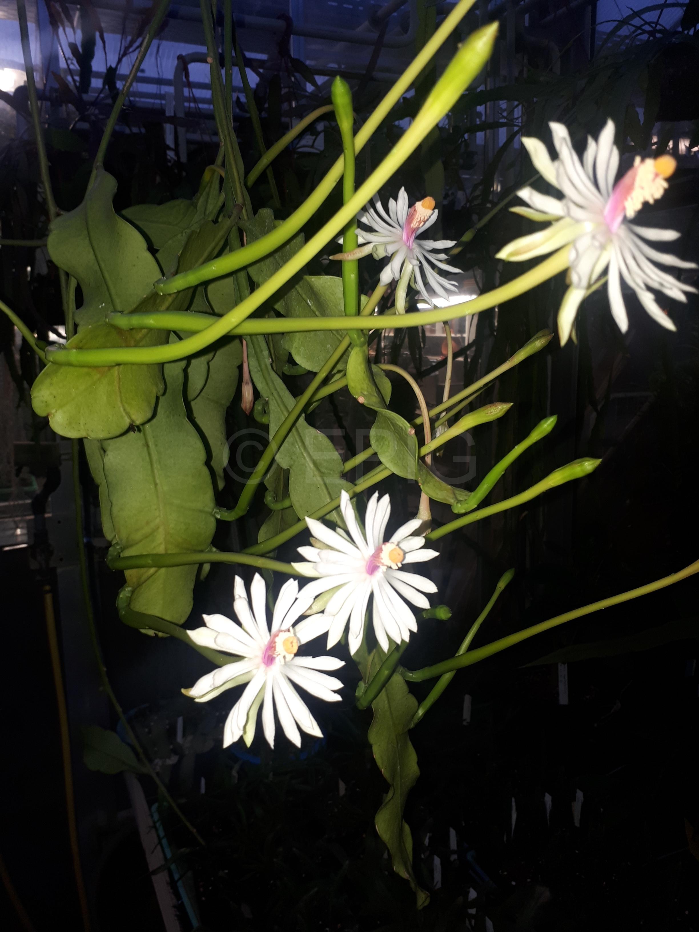 Epiphyllum baueri (Foto Tobias Pfeil)