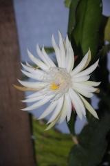 Epiphyllum hookeri ssp. guatemalense (Foto Heinz Peter Mohrdieck)