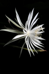 Epiphyllum pumillum (Foto Heiner Düsterhaus)