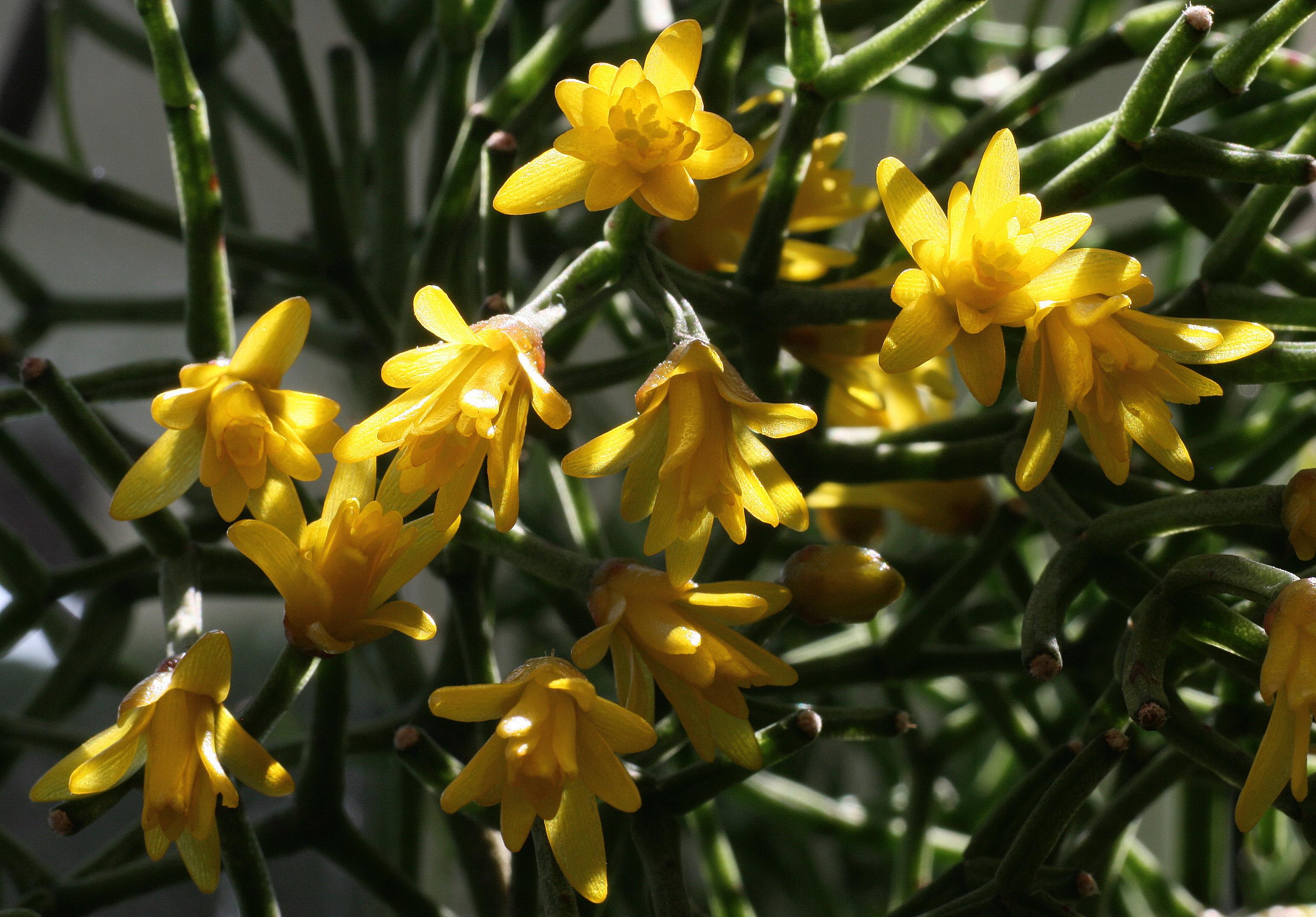 Hatiora aff. cylindrica (Detailfoto) (Foto Jochen Bockemühl)