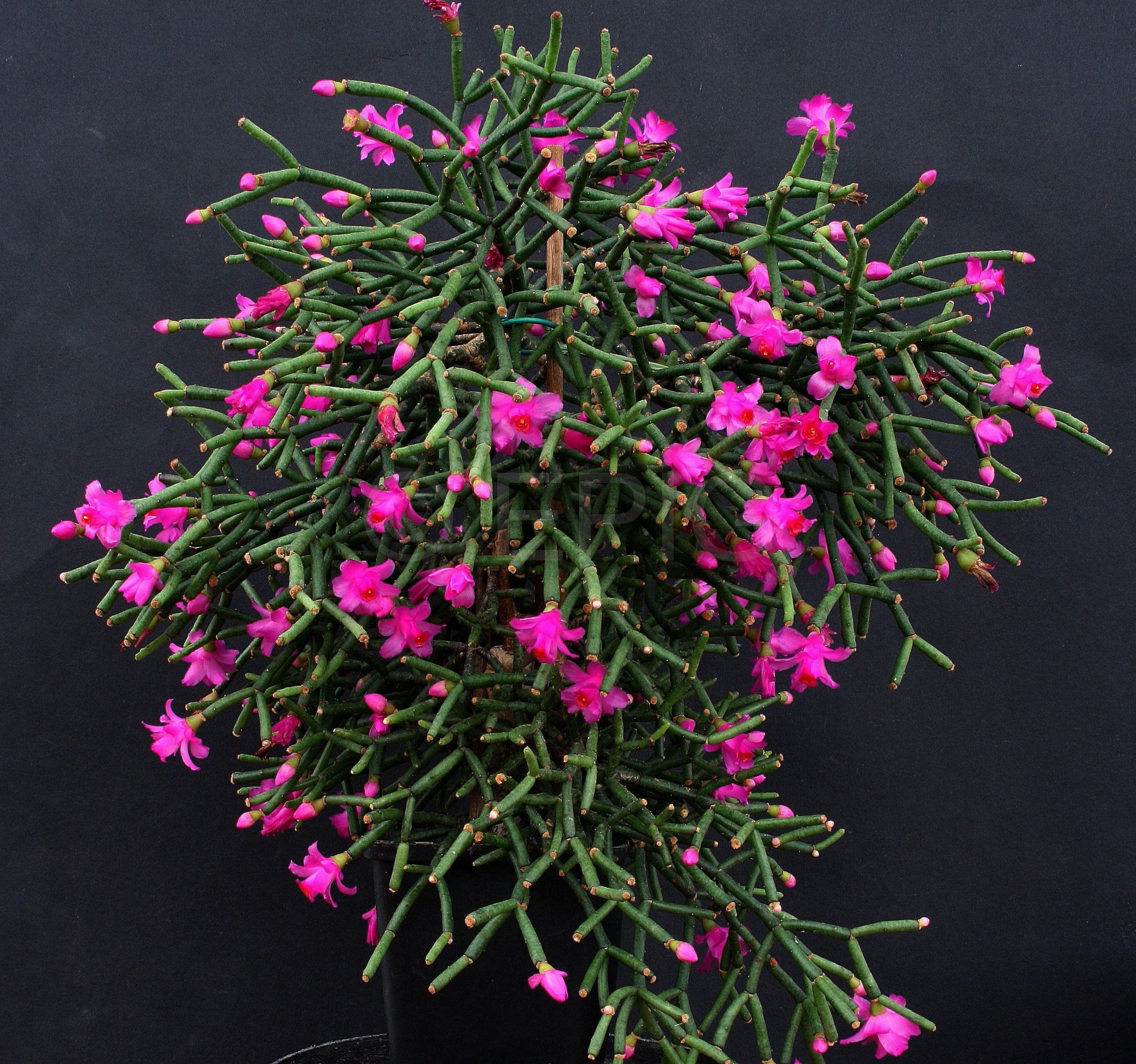 Hatiora herminiae AH721 (Foto Jochen Bockemühl)