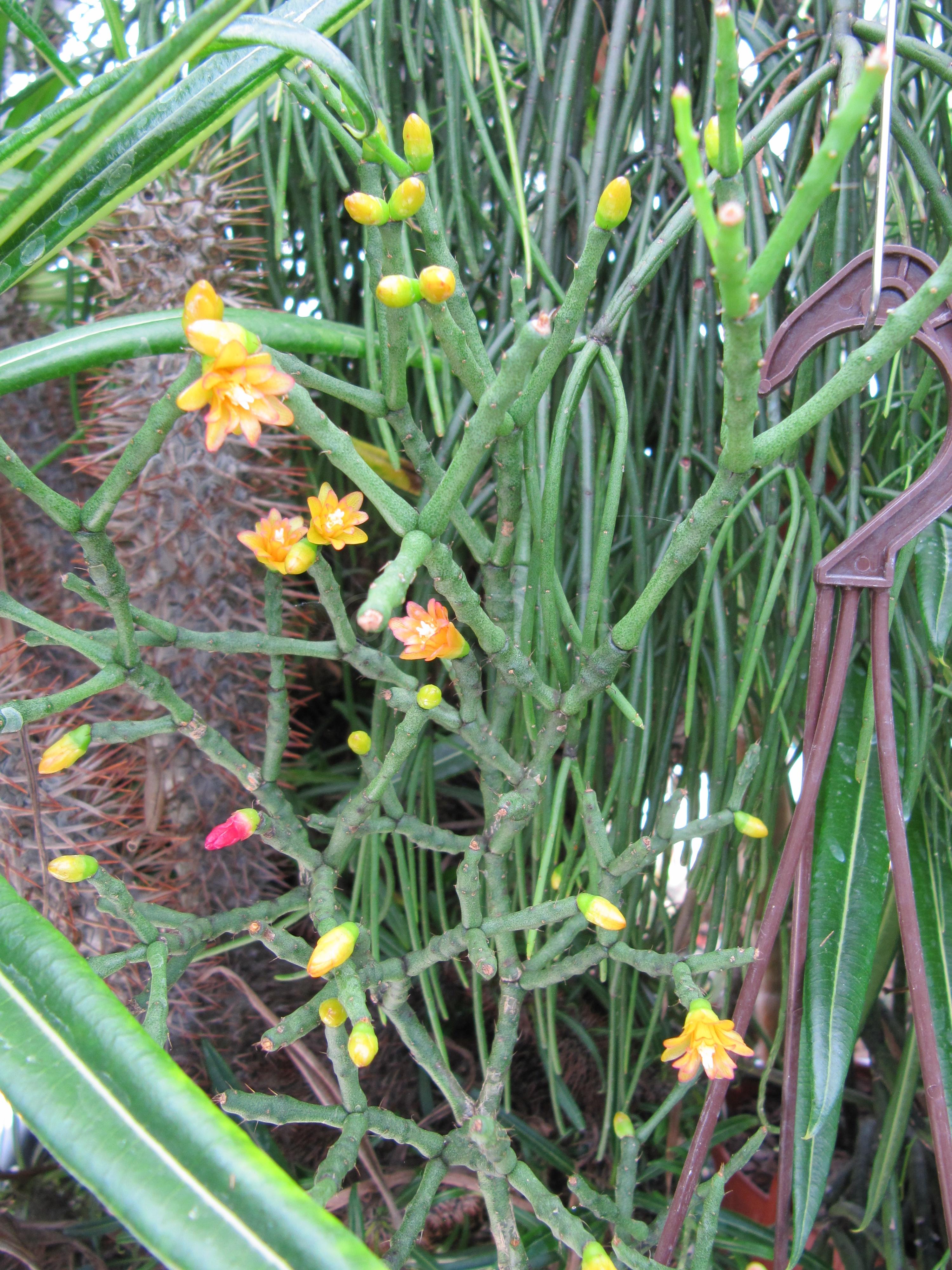 Hatiora salicornioides (Foto Horst Kündiger)