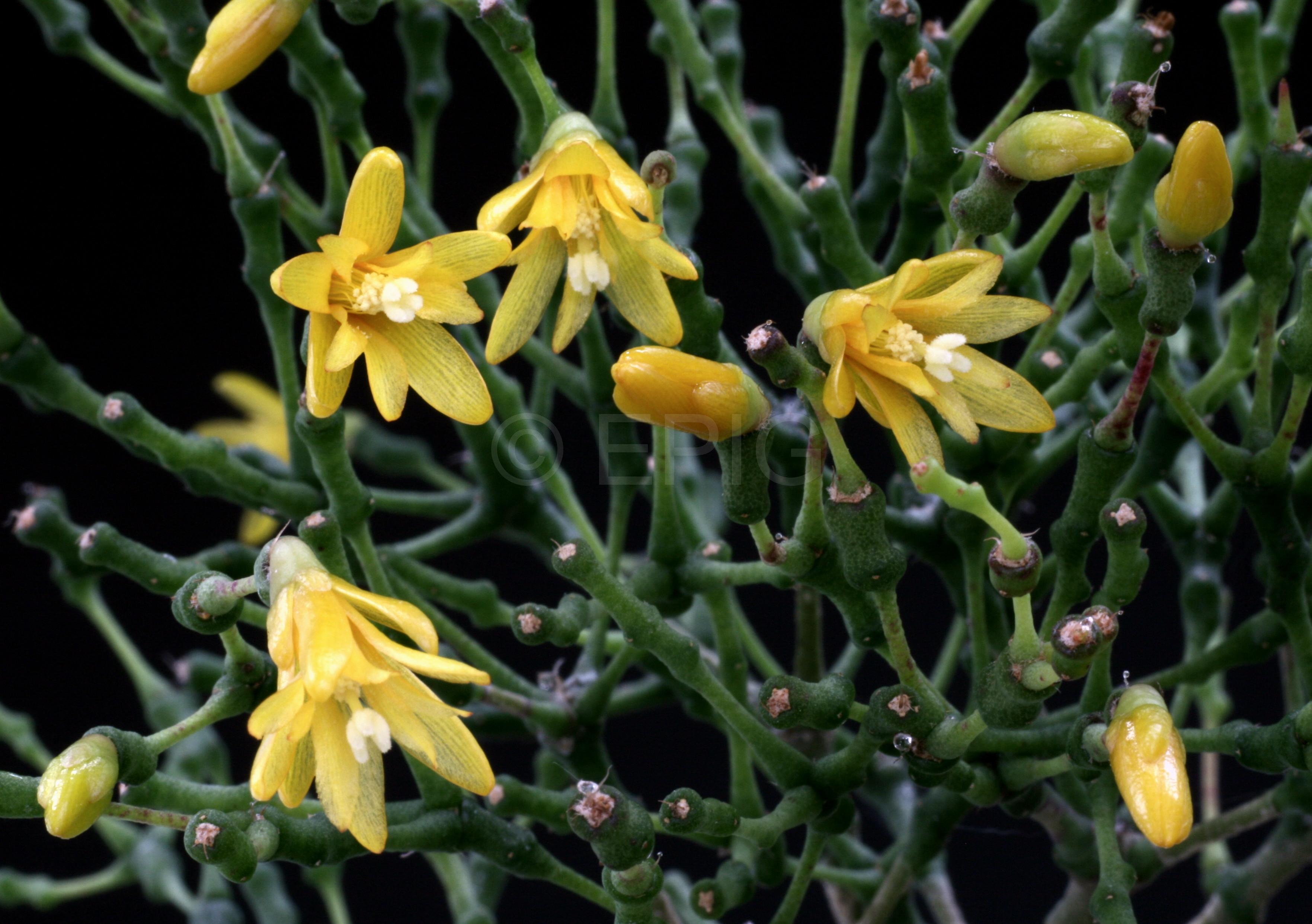 Hatiora salicornioides (Foto Jochen Bockemühl)