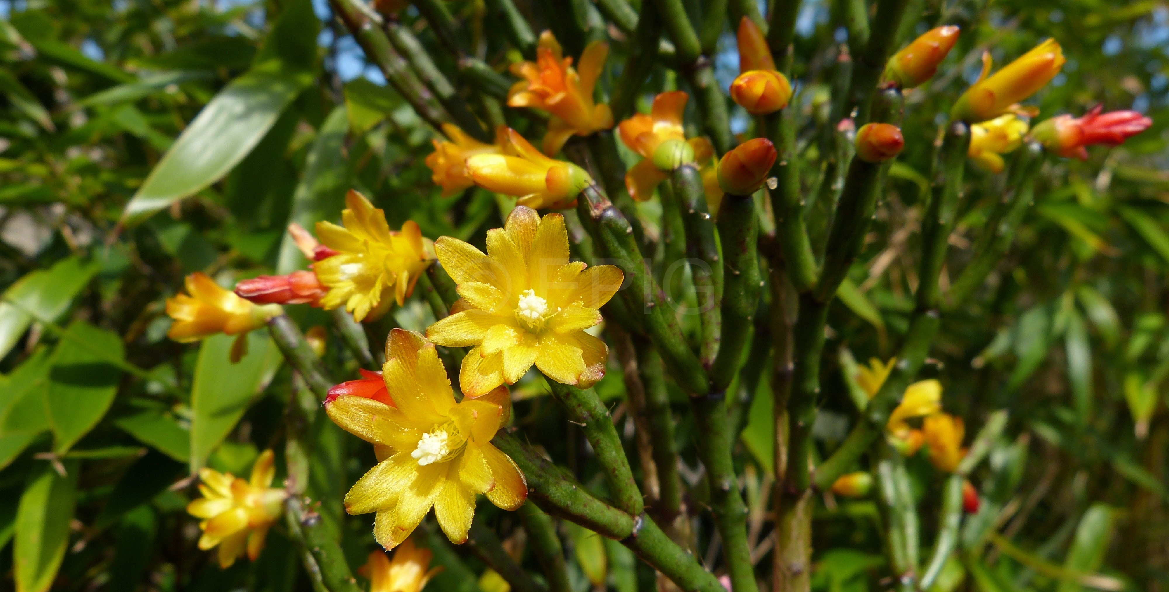 Hatiora salicornioides (f. bambusioides) (Foto Ruud Tropper)