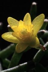 Hatiora cylindrica (Kew, Blüte) (Foto Jochen Bockemühl)