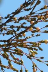 Hatiora salicornioides Campos de Jordao Früchte (Foto Ruud Tropper)
