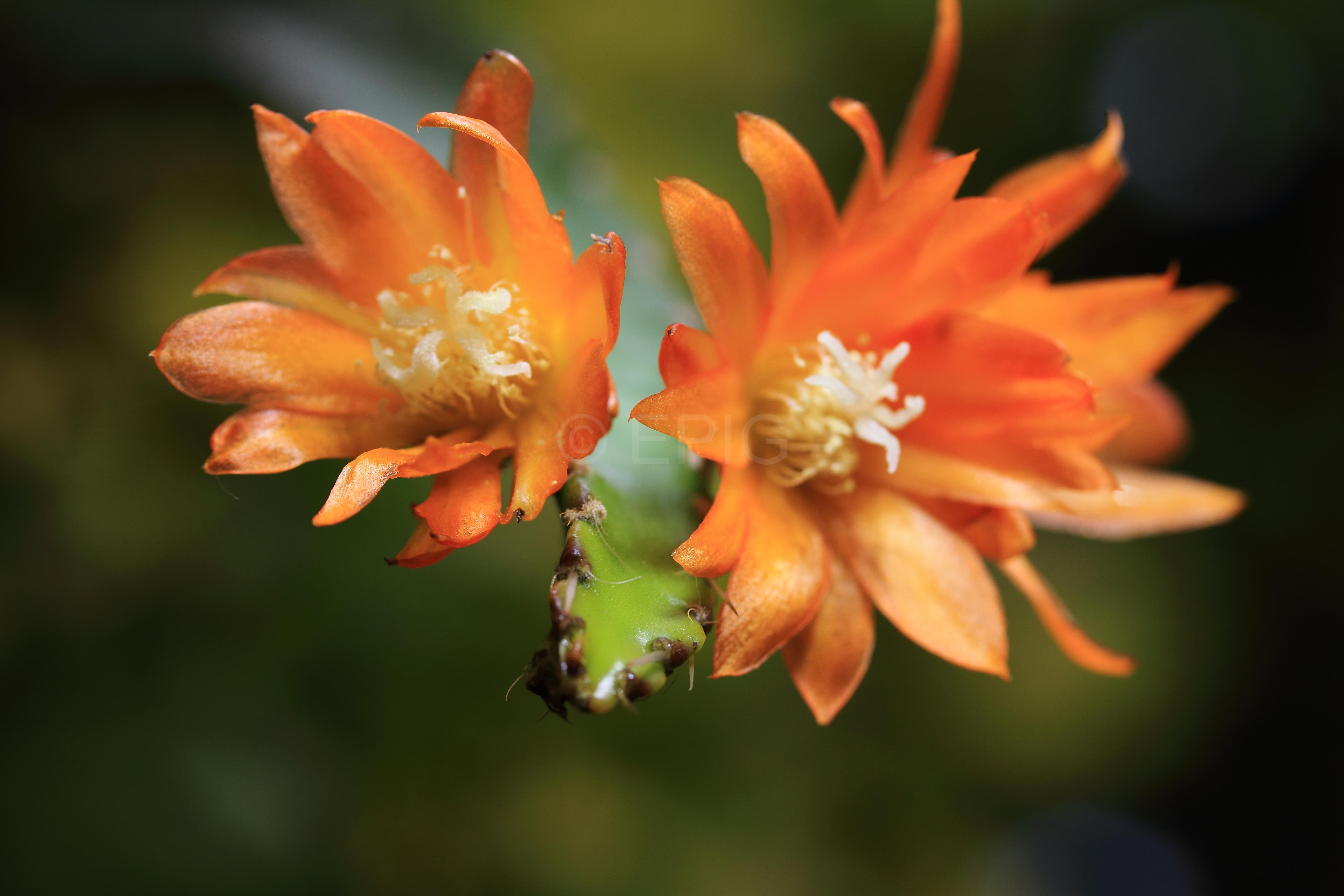 Pfeiffera hybr. 'Neue Petersen Hybride' (Foto Heiner Düsterhaus)