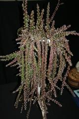 Lepismium cruciforme (Foto Rainbow Gardens)