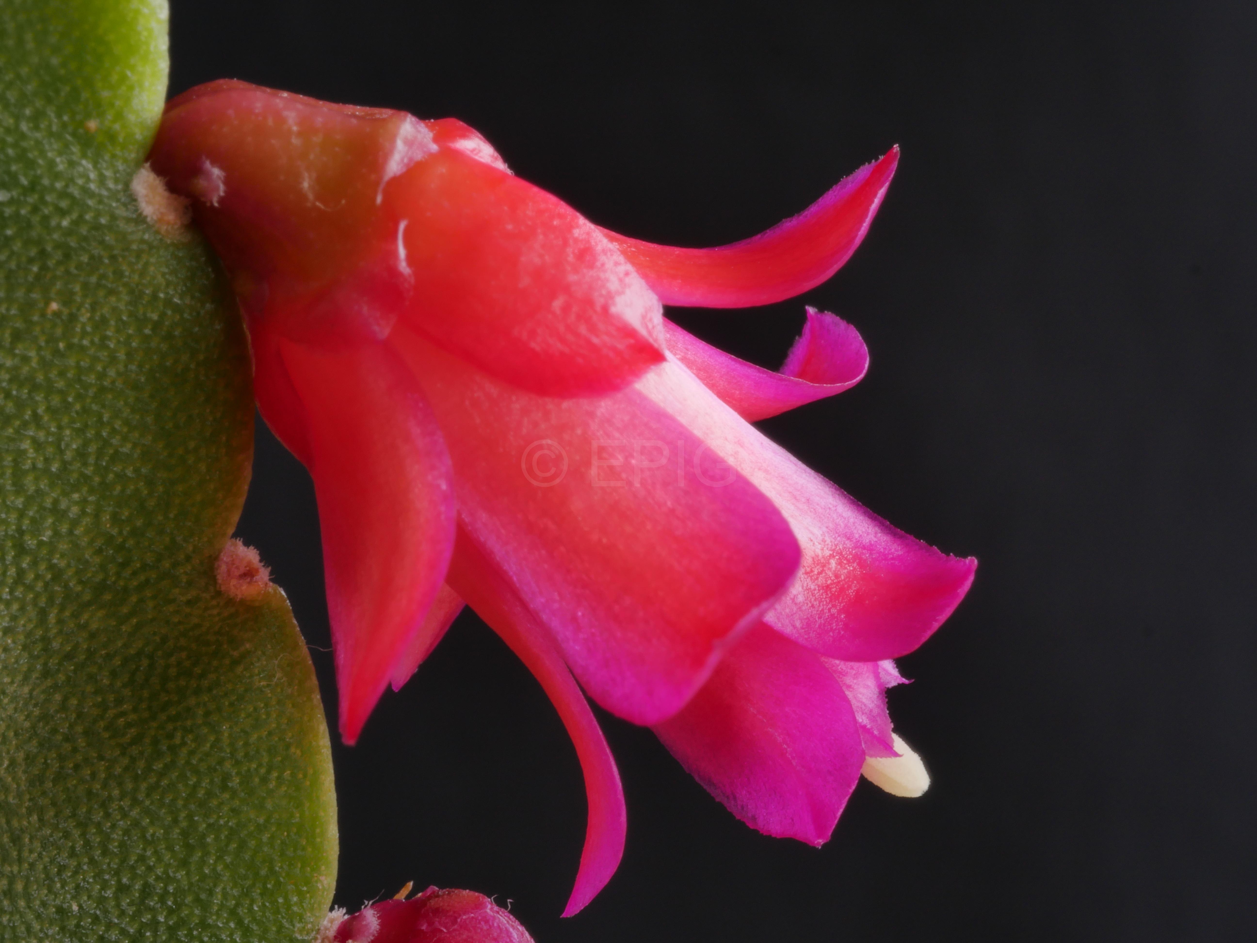Lymanbensonia micrantha (Typ Vargas) (Foto Ruud Tropper)