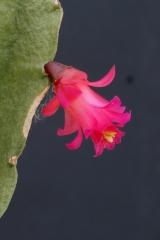 Lymanbensonia micrantha (HBG) (Foto Jochen Bockemühl)