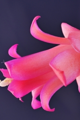 Lymanbensonia micrantha (Typ Baker) (Foto Ruud Tropper)