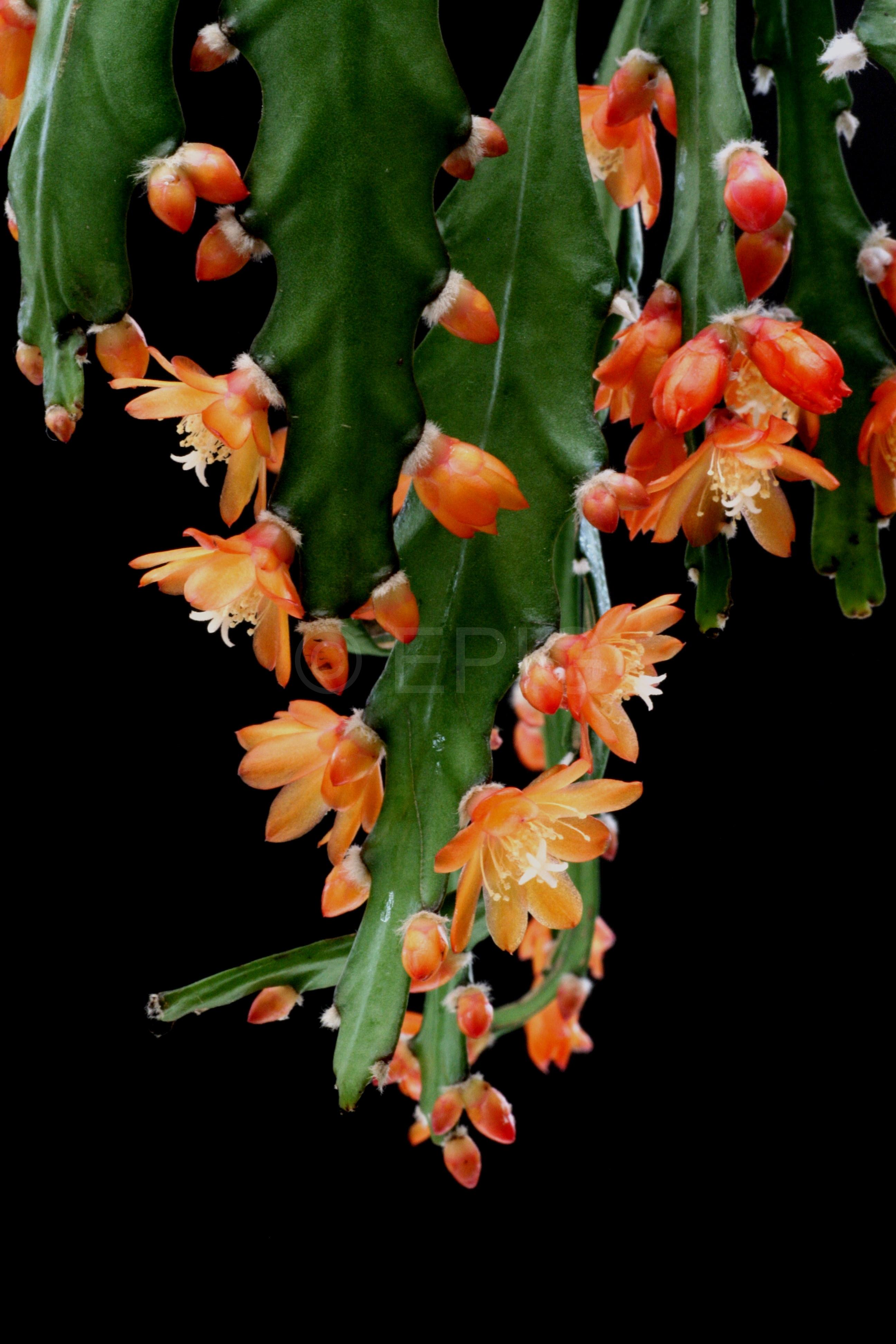 Pfeiffera asuntapatensis (Kessler 9800) (Foto Jochen Bockemühl)