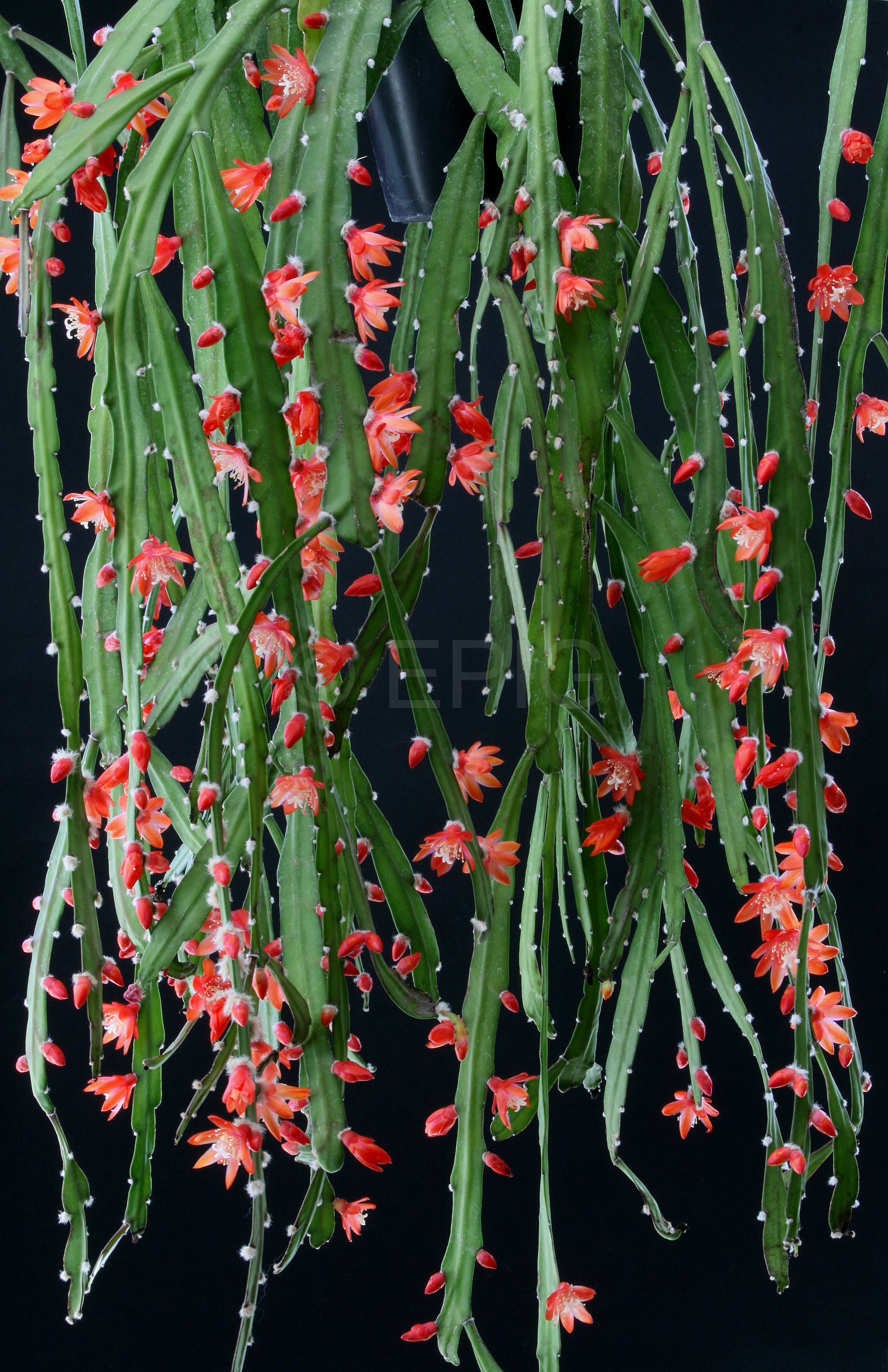Pfeiffera asuntapatensis WK970 (Foto Jochen Bockemühl)