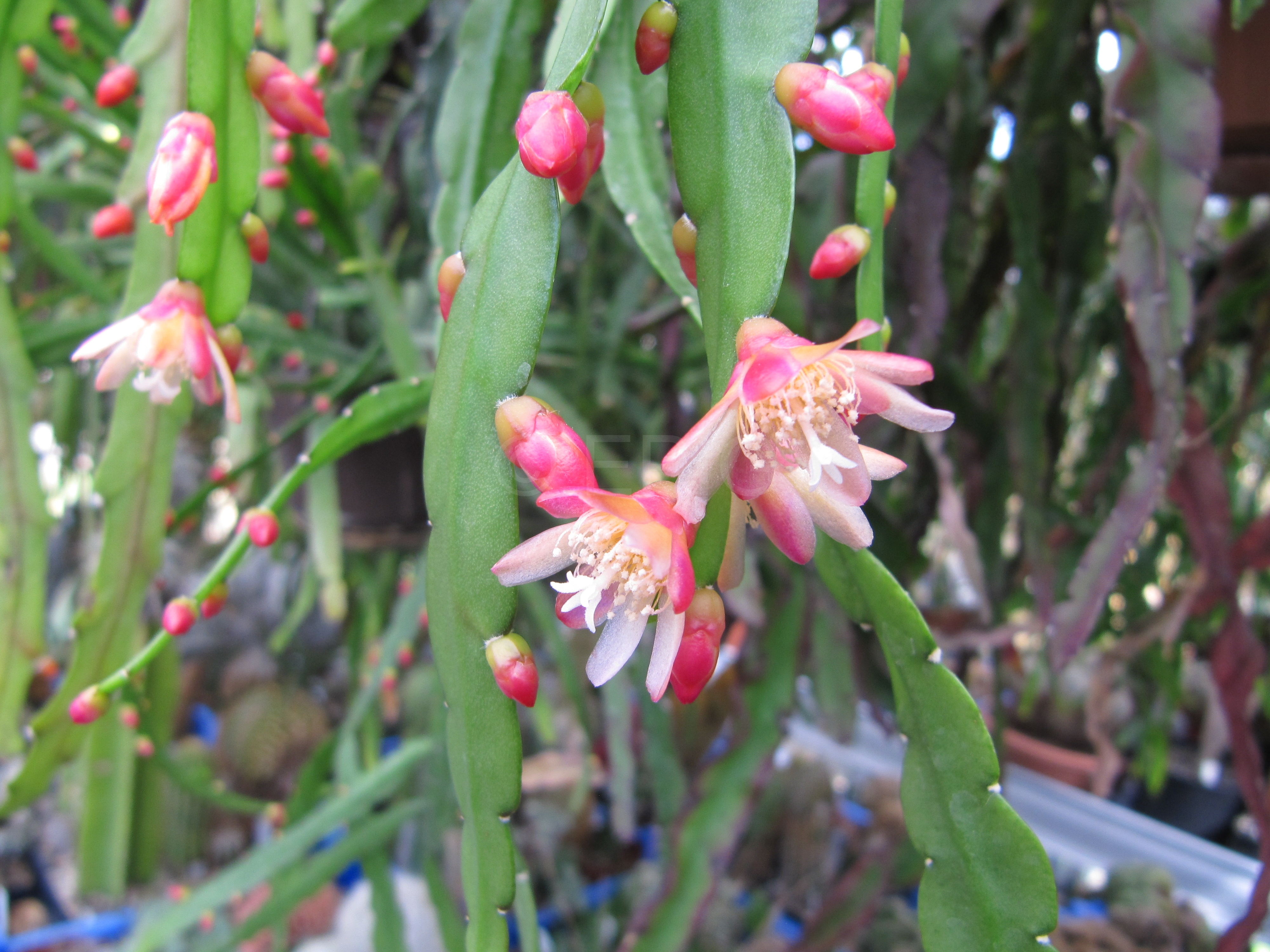 Pfeiffera boliviana (Foto Horst Kündiger)